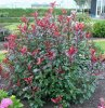 photinia-magical-volcano.8_f